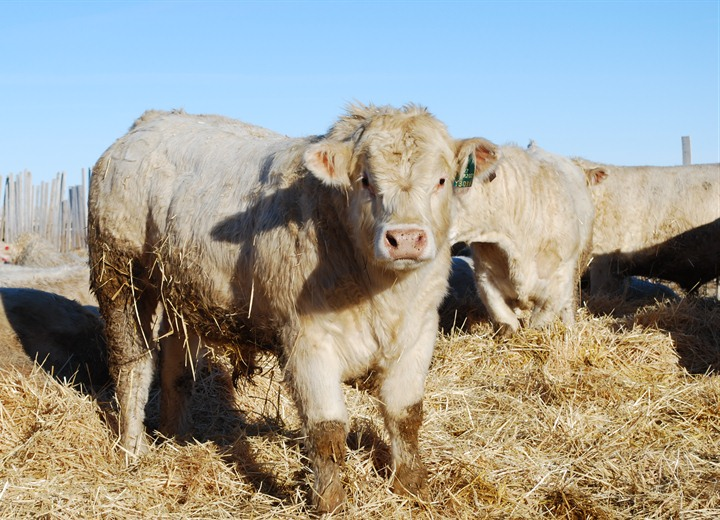 charolais bull for sale