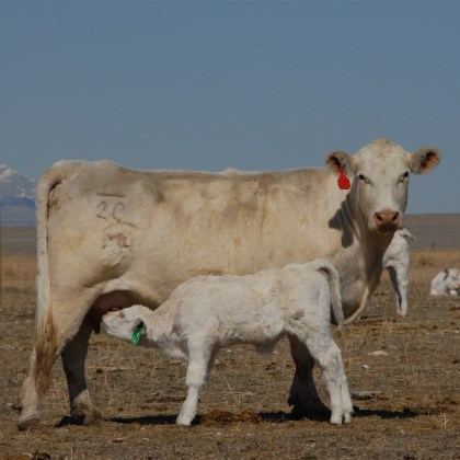 Charolais cattle with excellent mothering instincts
